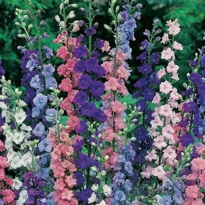 дельфиниумы фото цветов
